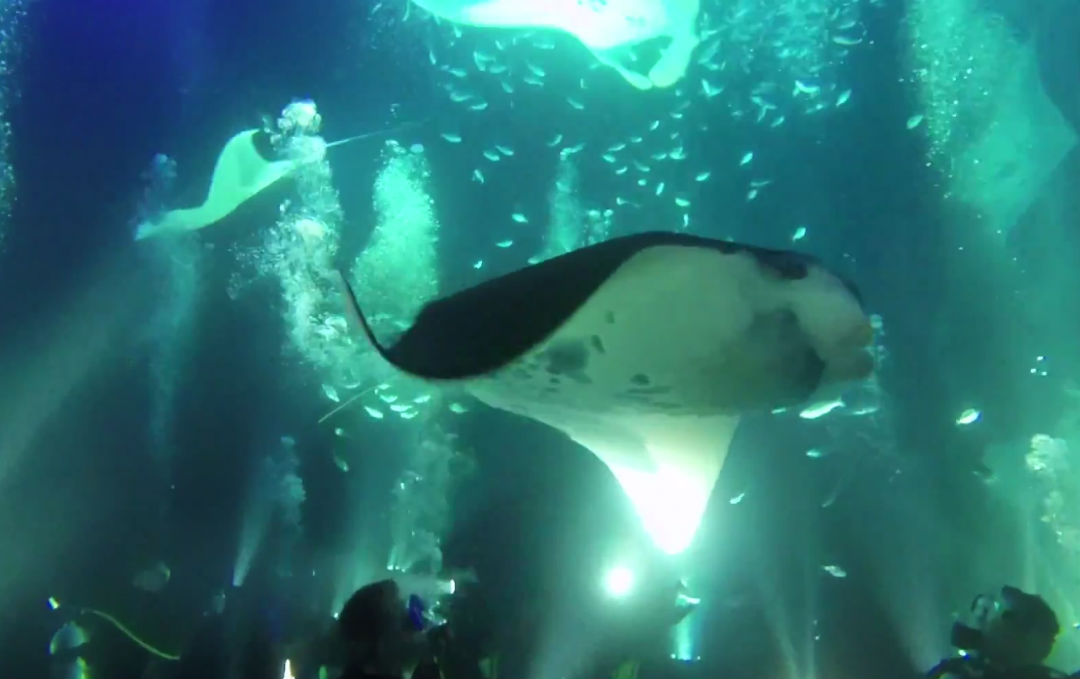 Manta Ray Night Dive Kailua Kona Hawaii