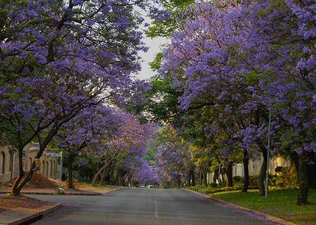 """Street lined with Jacarandas"" Martie Swart"