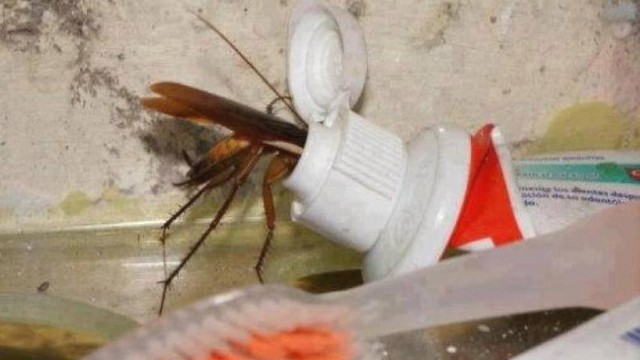 Cockroaches Love Toothpast